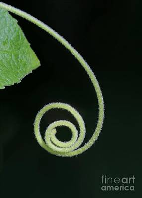 Photograph - Tiny Fuzzy Curl by Sabrina L Ryan