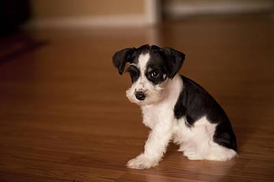 Schnauzer Art Photograph - Tiny Puppy by Malania Hammer
