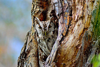 Photograph - Tiny Screech Owl by Shannon Harrington