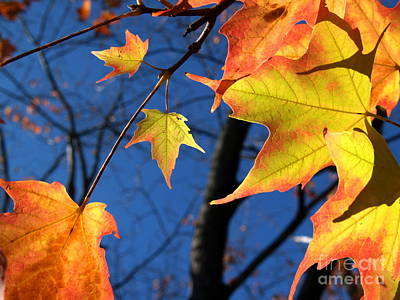 Photograph - Tiny Sugar Maple Leaves Aglow by Anna Lisa Yoder
