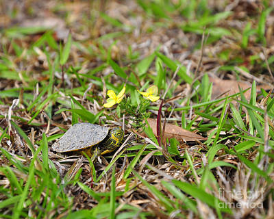 Pond Turtle Photograph - Tiny Turtle by Al Powell Photography USA