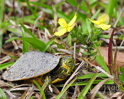 Pond Turtle Photograph - Tiny Turtle Close Up by Al Powell Photography USA