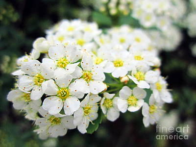 Photograph - Tiny White Yellow Flowers by Cynthia  Clark