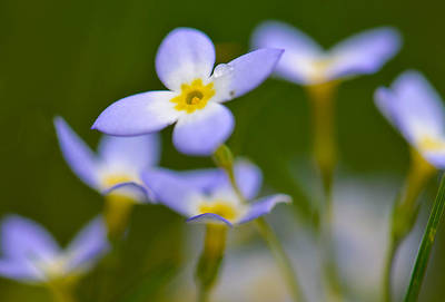 Photograph - Tiny Wildflowers And Raindrop by Amy Porter