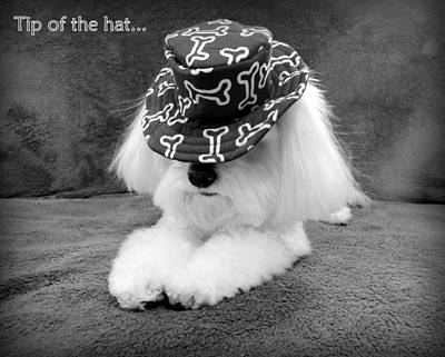 Maltese Photograph - Tip Of The Hat by Mary Beth Landis