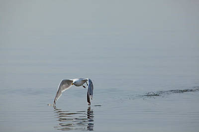 Herring Gull Photograph - Tips Touching by Karol Livote