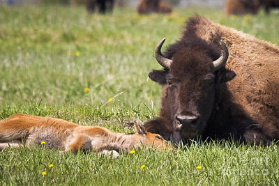 Tired Bison Cow And Calf Art Print by Mike Cavaroc