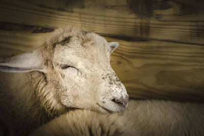 Photograph - Tired Sheep by Bradley Clay