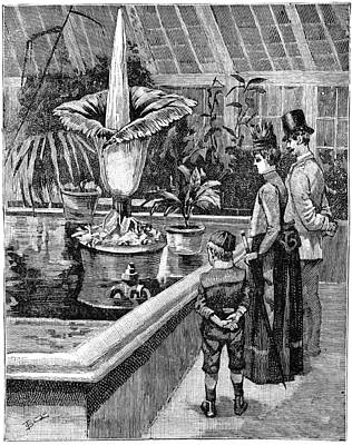 Botanic Illustration Photograph - Titan Arum Flowering At Kew, 1889 by Science Photo Library