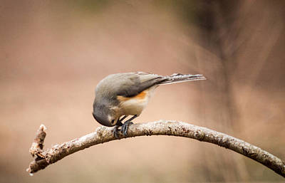 Tufted Titmouse Photograph - Titmouise Reverently Bowing by Douglas Barnett