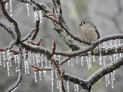 Tufted Titmouse Photograph - Titmouse And Iced Branches by Jamie K Reaser