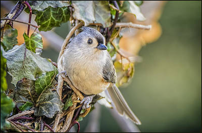 Wreath Photograph - Titmouse And Ivy by LeeAnn McLaneGoetz McLaneGoetzStudioLLCcom
