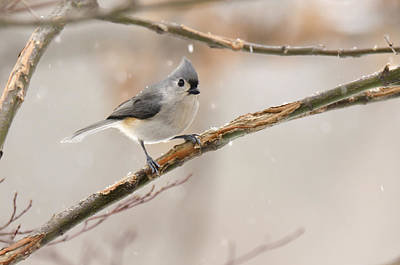 Photograph - Titmouse At My House by Ann Bridges