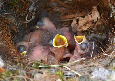 Photograph - Titmouse Hatchlings by Kathy Baccari