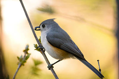 Titmouse Photograph - Titmouse In Gold by Shane Holsclaw