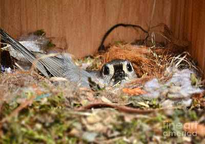 Photograph - Titmouse Nesting by Kathy Baccari