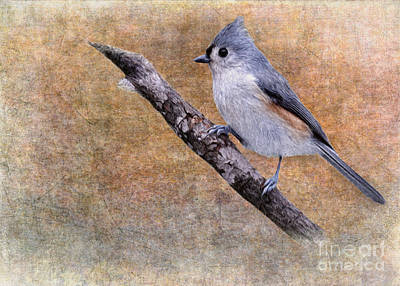 Tufted Titmouse Digital Art - Titmouse Portrait by Jayne Carney