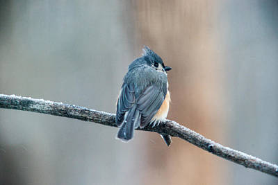 Tufted Titmouse Photograph - Titmouse Resting by Douglas Barnett