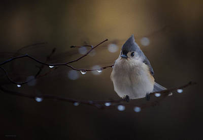 Ron Jones Photograph - Titmouse by Ron Jones