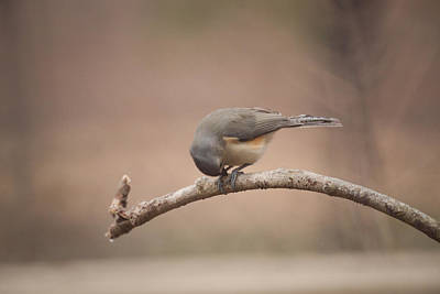Baeolophus Bicolor Photograph - Titmouse Working On A Seed by Douglas Barnett