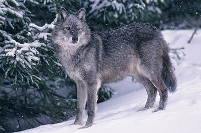 T.kitchin, 19821c Gray Wolf, Winter Print by First Light