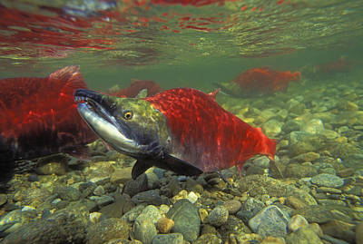 Kokanee Salmon Photograph - T.kitchin 22105d, 22111d, 22108d by First Light