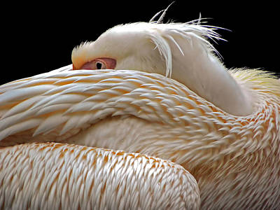 Pelican Wall Art - Photograph - To Be Half Asleep... by Thierry Dufour