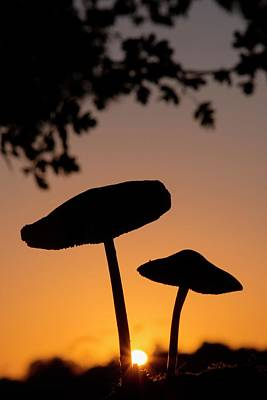Toadstools At Sunset Art Print
