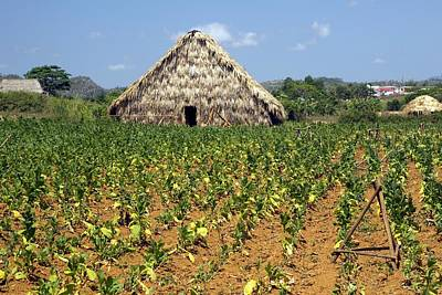 Nicotiana Photograph - Tobacco Field And Drying House, Cuba by Science Photo Library