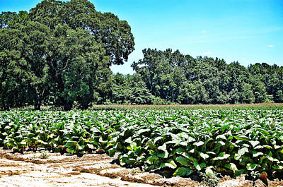 Art Print featuring the photograph Tobacco Field by Linda Brown