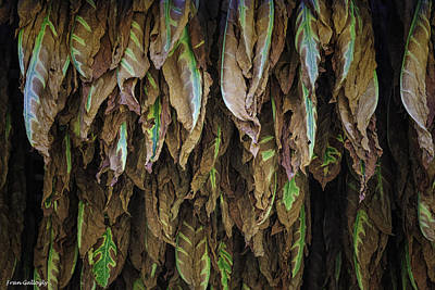 Photograph - Tobacco by Fran Gallogly