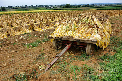 Amish Photograph - Tobacco Harvest by Olivier Le Queinec