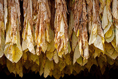 Photograph - Tobacco by Melinda Fawver
