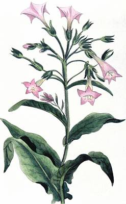 Nicotiana Painting - Tobacco Nicotiana Tabacum by Anonymous