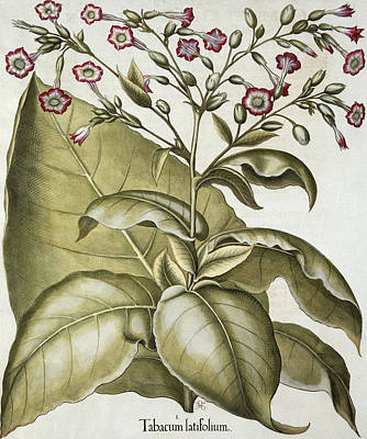 Leaf Drawing - Tobacco Plant, From The Hortus by German School