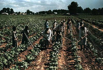 Natchitoches Photograph - Tobacco Plantation, 1940 by Granger