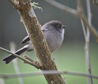 Photograph - Today The Bushtits Appear by Ronda Broatch
