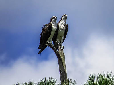 Osprey Photograph - Together Again by Zina Stromberg