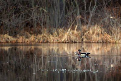 Wood Duck Photograph - Together In The Swamp by Bill Wakeley
