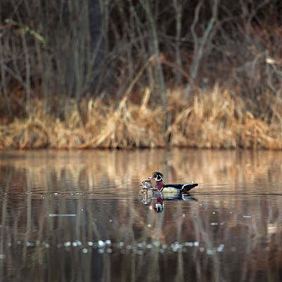Wood Duck Photograph - Together In The Swamp Square by Bill Wakeley