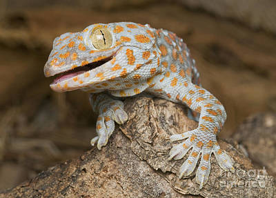 Photograph - Tokay Gecko by Dan Suzio