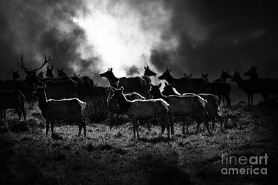 Tule Elks Photograph - Tomales Bay Harem Under The Midnight Moon - 7d21241 - Black And White by Wingsdomain Art and Photography