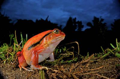 Frog Photograph - Tomato Frog (dyscophus Antongili by Andres Morya Hinojosa