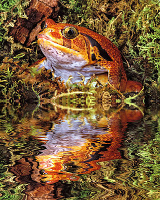Robert Jensen Photograph - Tomato Frog Reflection by Robert Jensen