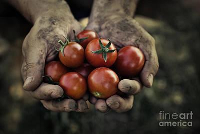 Tomato Harvest Art Print