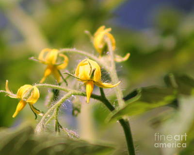 Photograph - Tomatoe Blossoms by Leone Lund