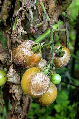 Tomatoes Infected With Late Blight Print by Dr Jeremy Burgess