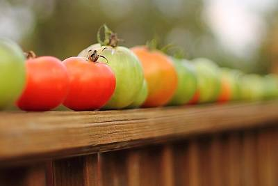 Photograph - Tomatoes by Angela Murdock