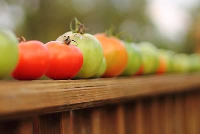 Photograph - Tomatoes by Angela Murdock