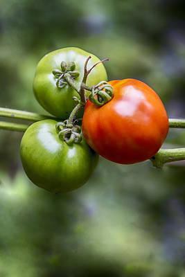 Photograph - Tomatoes On The Vine by John Haldane